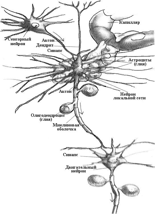 Элементы нервной ткани.jpg