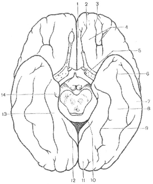 Извилина Парагиппокампальная